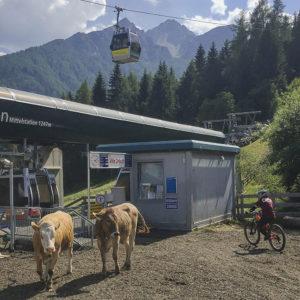 Krávy na trailu jsou tady normálka